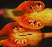 Grevillea hybrid-The anthers. by andrachne
