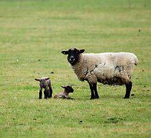 Sheep and Lambs by Sue Robinson