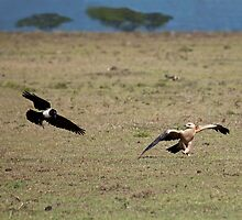 Tawny Eagle and Pied Crow by Sue Robinson