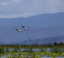 Pelicans flying over Lake Naivasha by Sue Robinson