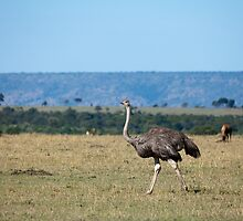 Ostrich on the Masai Mara by Sue Robinson