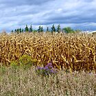 Autumn Corn Fields by Jeannie  Mazur