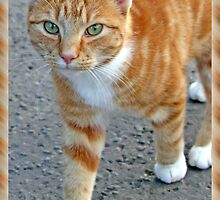 Ginger Tabby Cat by simpsonvisuals