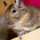 Degu by Lisa Marie Robinson