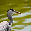 Grey heron by Tataran Mihai - Razvan