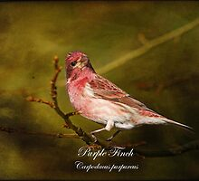 Purple Finch by Vickie Emms