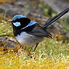 ~ Blue Wren ~ by Leeo