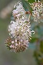 Prickly Hakea Yallingup Western Australia by Leonie Mac Lean
