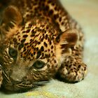 Baby Leopard by Daniela Pintimalli