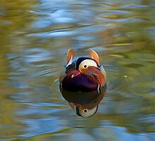 Mandarin Duck Reflection by Sue Robinson
