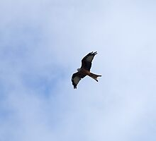 Red Kite soaring by Sue Robinson