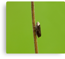 Common Froghopper Canvas Print