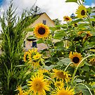 Sunflowers in Zoar Garden by Andy Donaldson