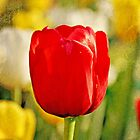 Tulip by forga