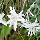 Edelweiss by barbox