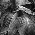 Hosta Fall Foliage by Joanne  Bradley