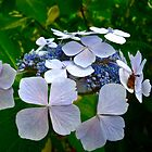 Blue and White Hydrangea Flower by magicaltrails