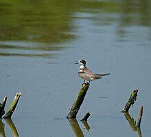 Black Tern by Sue Robinson
