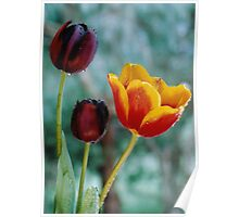Tulips of Contrast Poster