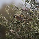 Singing Honeyeater (Lichenostomus virescens) by Rosie Appleton