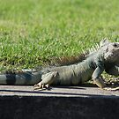 Green Iguana by Mark Prior