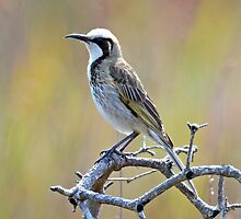 Tawny Crowned Honeyeater taken Waterhouse Conservation Park in Tasmania by Alwyn Simple