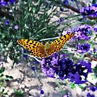 Butterfly on Lavender by Wendy  Rauw