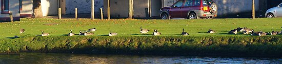 Geese Panoramic by Nik Watt