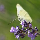 cabbage butterfly on lavender by Jicha