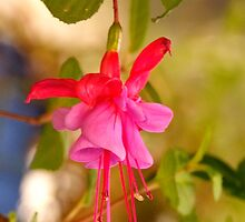First fuschia for the season by Kym Bradley