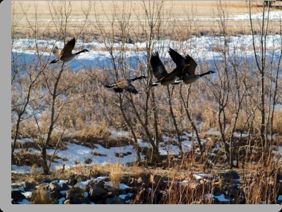 Canadian Geese Over Skunk Creek by Scott Hendricks