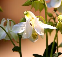 A touch of green White Columbine  by Kym Bradley