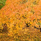 Westonbirt Autumn VI by Chris Tarling