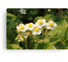strawberry blossoms with dew Canvas Print