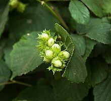 Hazel Nuts maturing by Sue Robinson