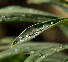 Raindrops on leaf by Sue Robinson