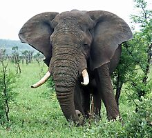 African Elephant grazing by Edward Middleton