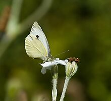 Large White Butterfly by Sue Robinson