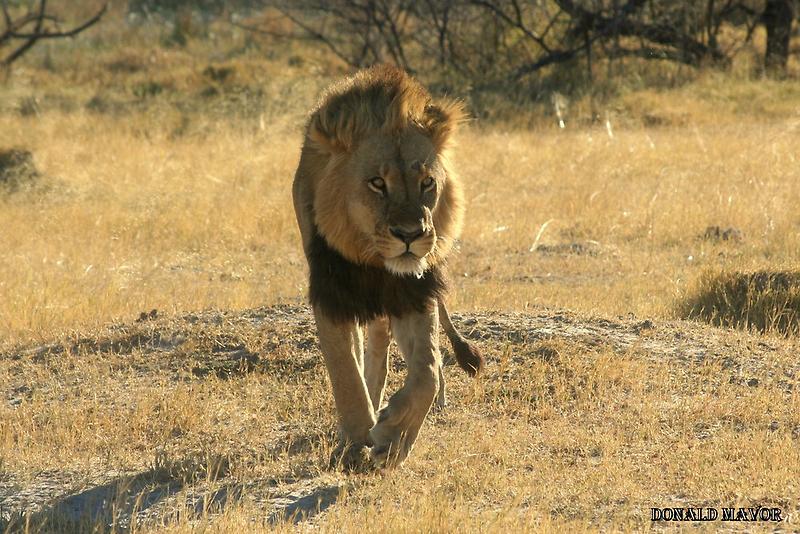 Moremi Lion by Donald  Mavor