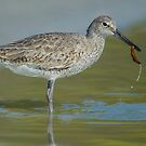 Willet lunch by Daniel  Parent