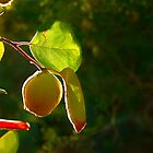 Quince Fruit On Tree by Kuzeytac