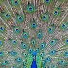 Peacock 1 of 3 by Sevenhills