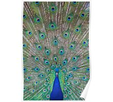 Peacock 1 of 3 Poster