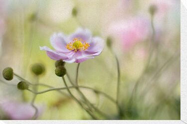 Anemone by Mandy Disher