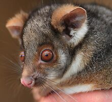 Look What the Cat Brought in .Ringtail Possum. by Donovan wilson
