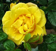 Golden Rose Bejewelled by kathrynsgallery