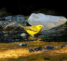 Yellow Warbler by Teresa Zieba