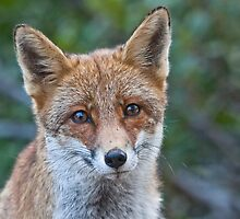 a Fox in the mountain, PNALM, Italy by GENNARIDAV