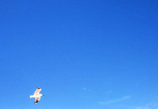 Gull In Flight - 20 10 12 by Robert Phillips