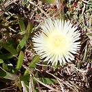 Beach Flower One - 21 10 12 by Robert Phillips